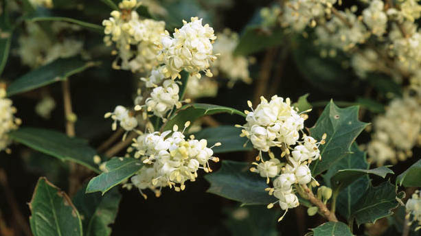 Holly | Flores de Bach | SEDIBAC