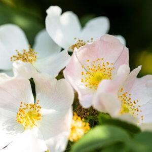 flor-de-bach-sedibac