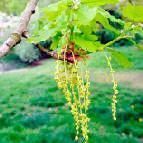 Flor de Bach Oak