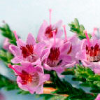 Flor de Bach Heather