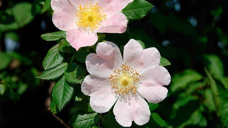 Flor-de-Bach-Wild-Rose